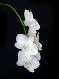 czarny kwiatów odosobniony storczykowy biel Obrazy Royalty Free