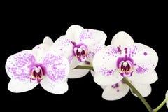 czarny kwiatów storczykowy purpur trzy biel Zdjęcie Stock