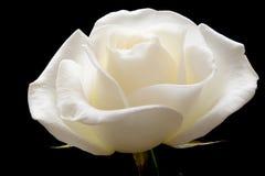 czarny kwitnienie rose Obrazy Royalty Free