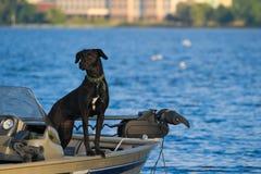 Czarny lab psi sprawdzać out jeziornego widok od łodzi rybackiej obraz stock