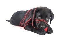 Czarny lab szczeniak, dwa miesiąca starego Zdjęcia Royalty Free