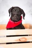 Czarny Lab szczeniak w Drewnianej skrzynce Zdjęcia Royalty Free