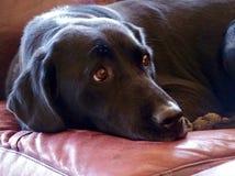 czarny labrador Fotografia Royalty Free