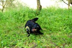 Czarny labrador bawić się outside z kijem Zdjęcie Royalty Free