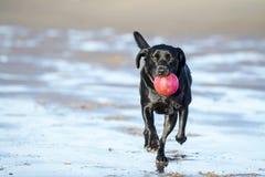 Czarny labrador bawić się z piłką na plaży Obraz Royalty Free