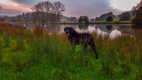 Czarny labrador jeziorem Fotografia Stock