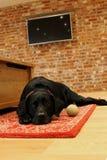 Czarny labrador kłaść na dywaniku obrazy stock