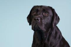 Czarny labrador na błękitnym tle Zdjęcia Royalty Free