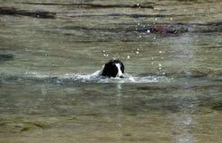Czarny Labrador Retriever dopłynięcie na zimnym dniu obraz royalty free