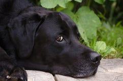 Czarny Labrador retriever kłama na trawie Zdjęcie Royalty Free