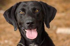 Czarny Labrador Retriever mieszający traken Obrazy Royalty Free