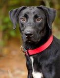 Czarny Labrador Retriever mieszający traken Obraz Stock