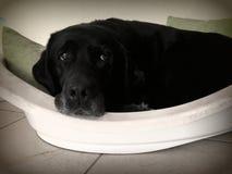 Czarny Labrador Retriever odpoczywać Fotografia Royalty Free