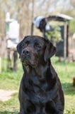Czarny Labrador retriever outdoors Zdjęcie Stock
