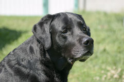 Czarny Labrador retriever outdoors Zdjęcia Stock