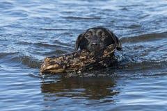 Czarny Labrador Retriever przynosi kij Obraz Stock