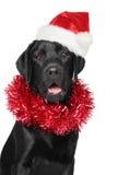 Czarny Labrador retriever w Santa Bożenarodzeniowym czerwonym kapeluszu Zdjęcie Royalty Free
