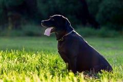 Czarny Labrador retriever wykonuje Zdjęcie Stock