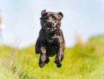 czarny Labrador Retrievera Obraz Royalty Free