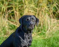 czarny Labrador Retrievera Obrazy Royalty Free