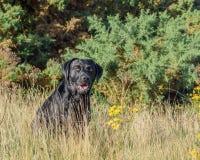 czarny Labrador Retrievera Zdjęcia Royalty Free