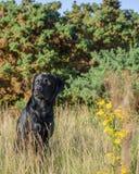 czarny Labrador Retrievera Obrazy Stock