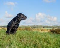 czarny Labrador Retrievera Zdjęcie Stock