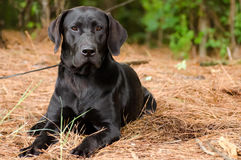 czarny Labrador Retrievera Fotografia Royalty Free