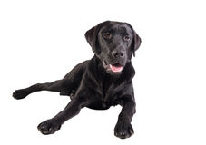czarny Labrador Retrievera Zdjęcia Stock