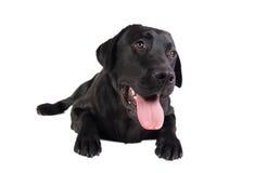 czarny Labrador Retrievera Obraz Stock