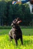czarny Labrador Retrievera Zdjęcie Royalty Free