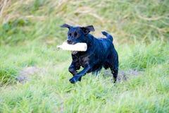 czarny Labrador Retrievera pracy Fotografia Royalty Free