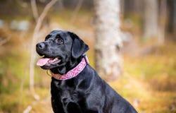 Czarny labrador w lasowym portrecie obraz stock