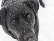 Czarny labrador w śniegu Zdjęcia Stock