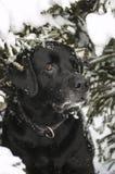 Czarny labrador w zimie Fotografia Stock