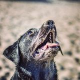 Czarny labrador zakrywający w piasku Zdjęcia Royalty Free