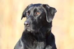 Czarny labradora aporter Fotografia Royalty Free
