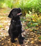 Czarny labradora aporteru szczeniak Zdjęcie Stock