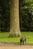 Czarny labradora komes od drzewa Zdjęcia Royalty Free