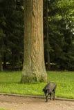 Czarny labradora komes od drzewa Obraz Stock