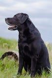 Czarny labradora obsiadanie w lata polu blisko fiszorka Obrazy Stock