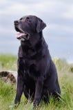 Czarny labradora obsiadanie w lata polu blisko fiszorka Zdjęcia Royalty Free