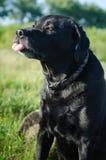 Czarny labradora obsiadanie w lato łące Zdjęcia Royalty Free
