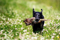Czarny labradora pies z bażantem obraz stock