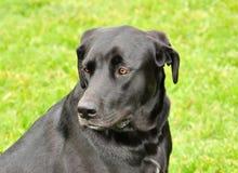 czarny labradora portret Obrazy Royalty Free