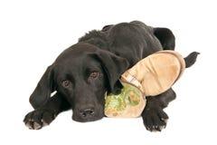 Czarny labradora retreiver, odizolowywający na bielu Fotografia Stock