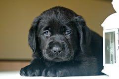 czarny labradora szczeniak Zdjęcia Stock