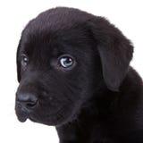 czarny labradora szczeniaka aporter Obrazy Stock