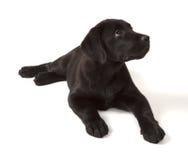 czarny labradora szczeniaka aporter Obraz Royalty Free