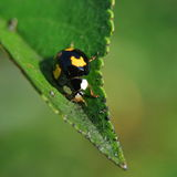czarny ladybird Fotografia Stock